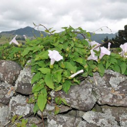 bindweed on stone