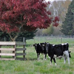calves under trees