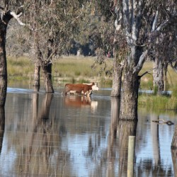 cattle-in-water