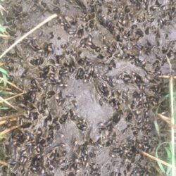 Over 700 dung beetles counted in a single pat on Steve Charters ranch in Montana